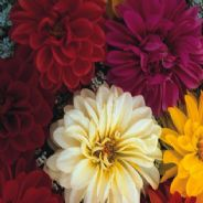 Dahlia Unwins Dwarf Mix - 65 seeds